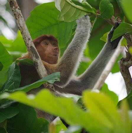 proboscis: a juvenile proboscis monkey searching for the best mangrove leaves