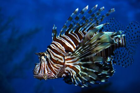 a colourful Lion Fish swimming in deep blue water photo