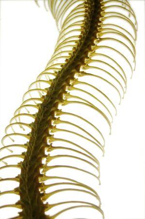 ribcage: gently curved snake ribcage on a light base