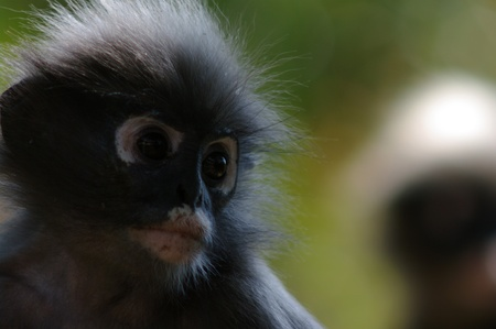 spectacled: Dusky leaf-monkey  spectacled langur - (Trachypithecus obscurus)