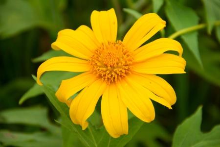 Bua Tong flower at Pai,Mahongson Thailand