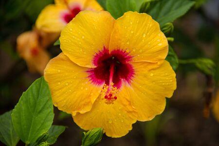 Yellow Hibiscus at Pai, Maehongsorn - North of Thailand Stock Photo