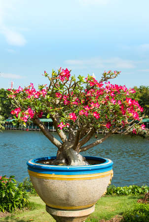 Pink Impala Lily in Potted photo