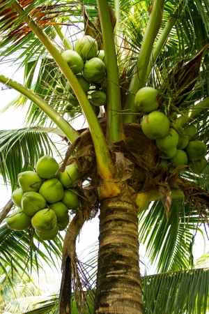 Coconuts on the palm tree in Thailand photo