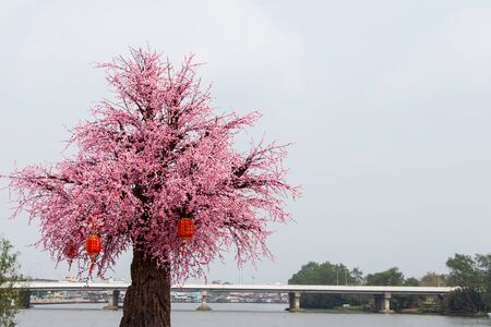 Cherry tree decorated with red lanterns to celebrate Chinese New Year