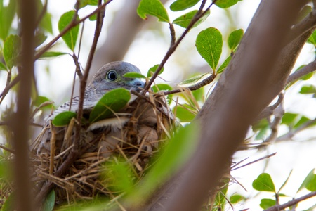 Doves in the nest on tree photo