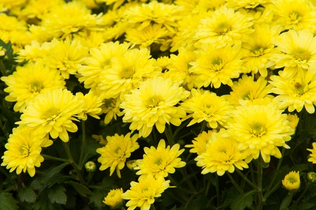 Chrysanthemum in the pot,At Mahongson Thailand photo