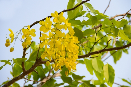 Golden Shower Tree and the blue sky Stock Photo
