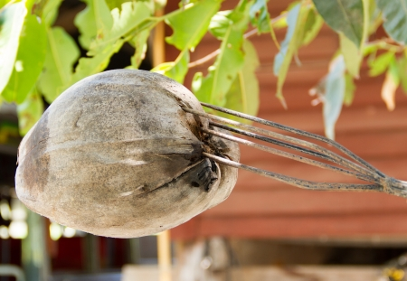thrust: Spear thrust the dry coconut