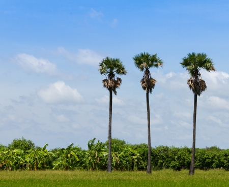 Three palm trees in the field photo