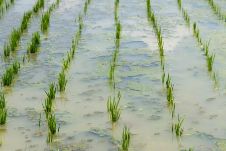 Plantations rice seedlings in Thailand photo