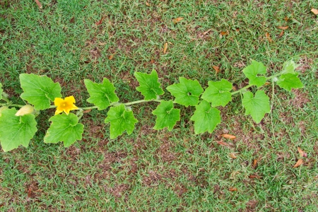 Pumpkin vines on the lawn