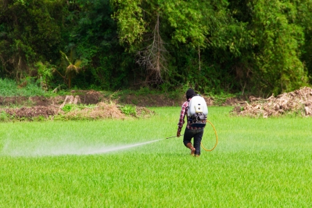 pesticides: People are spraying pesticides in rice field Stock Photo