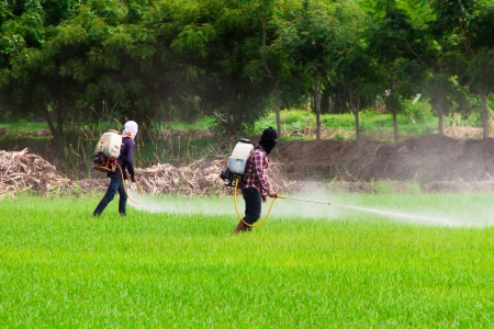 Two people are spraying pesticides in rice field Stock Photo