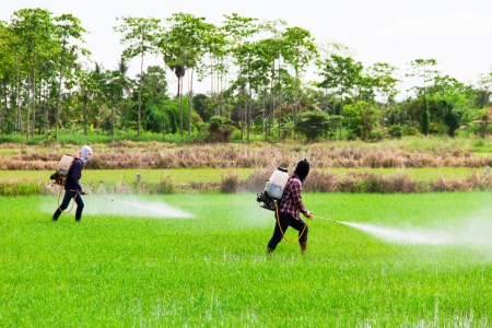pollutant: Two people are spraying pesticides in rice field Stock Photo