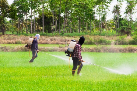 Two people are spraying pesticides in rice field Banque d'images
