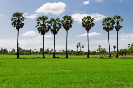 Toddy palm in the fields
