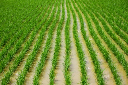Rice seedlings in the Rice fields