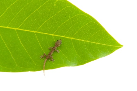 A little lizard on a leaf and white background photo