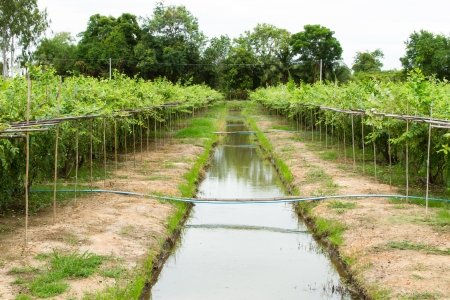 Jujube garden and Irrigation canals photo