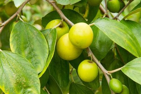 Monkey apple on the tree Stock Photo