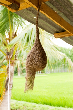 Weaverbird Nest hanging under the roof photo