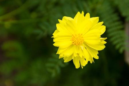 penetration: Yellow starburst flower petals insect penetration