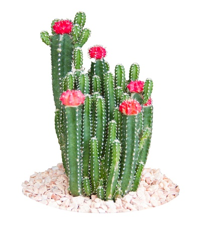 Cactus on a gravel surface and white background