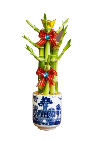 Ribbon plant in pot on white background,Chinese lucky Bamboo with red ribbon - happiness symbol, isolated on a white background photo