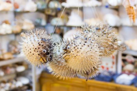 pez globo: Blowfish o pez globo en Tienda de souvenirs