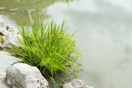 cattail: Reed is on the waterfront and stone