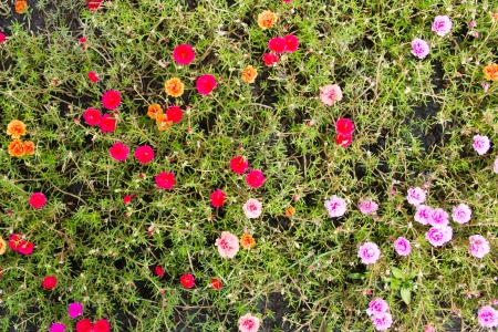 portulaca flower in the garden for background photo