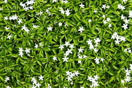 Gerdenia Crape Jasmine - white flowers photo