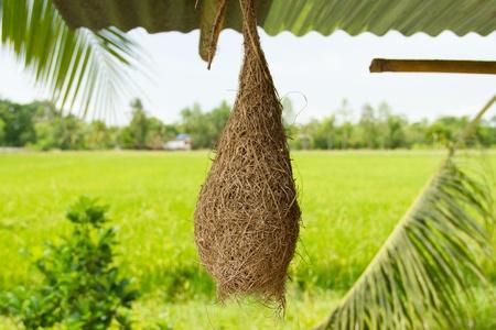 Nests weaverbird under the roof photo