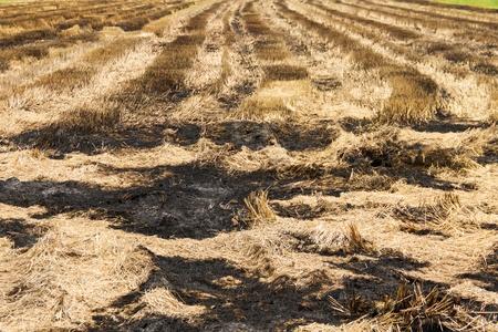 straw field burn after harvesting photo