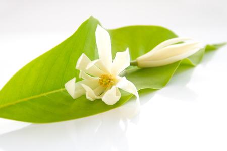 White Champaka on the leaves Stock Photo