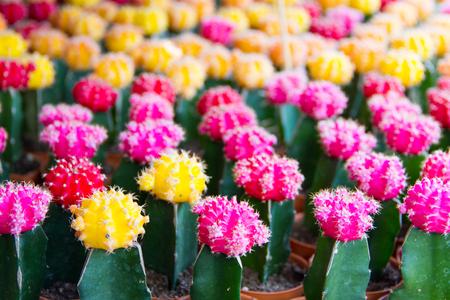 Flower of cactus in market,Thailand
