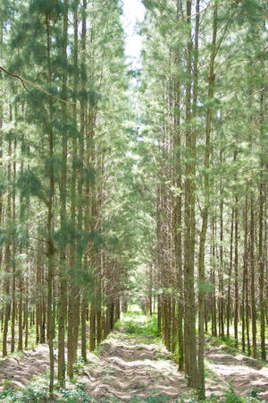 View of a Pine Plantation photo