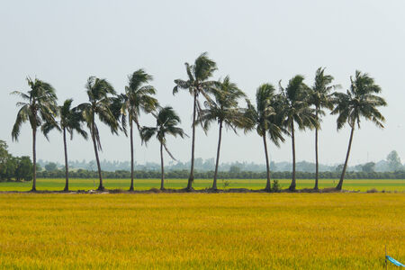 Golden rice fields and coconut trees photo