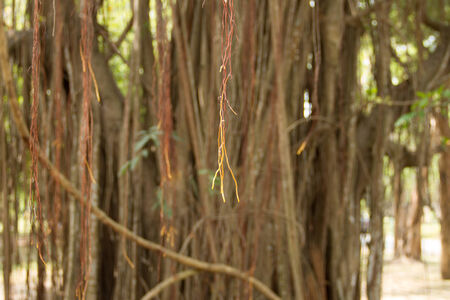 ficus: Ficus roots for background Stock Photo