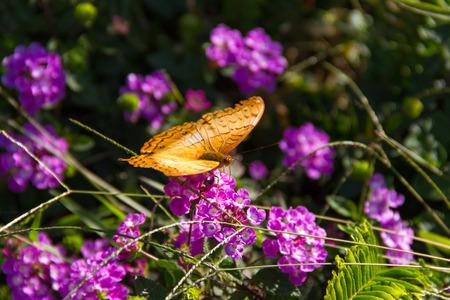 lantana: Butterfly on Lantana flowers