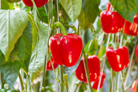 Red bell pepper on tree