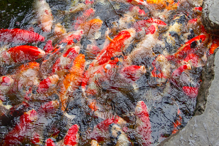 Fancy carp fish in the pond