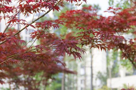 leaves turn red.