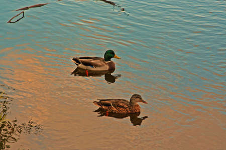Two ducks in river