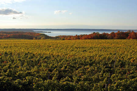 Vineyard on a bay