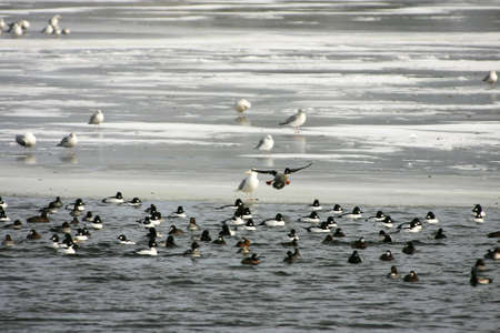 scaup: Ducks and gulls gathered at open water on river