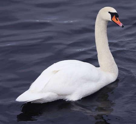 cygnus olor: Cygnus Olor (Mute Swan) Stock Photo