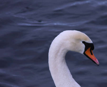 cygnus olor: Close up of Mute Swan (Cygnus Olor)