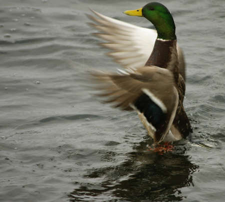 Mallard beginning flight photo